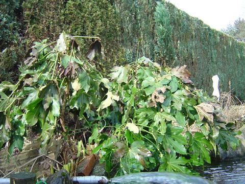 palmier, résistance, gel, exotique, climat froid, Fatsia japonica