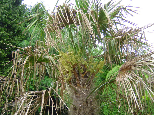palmier, résistance, gel, exotique, climat froid, Trachycarpus fortunei