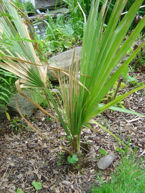 palmier, résistance, gel, exotique, climat froid, Sabal minor