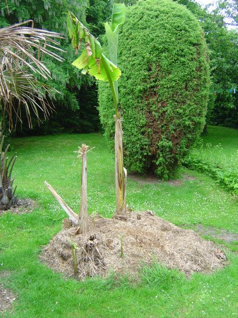 palmier, résistance, gel, exotique, climat froid, Musa basjoo