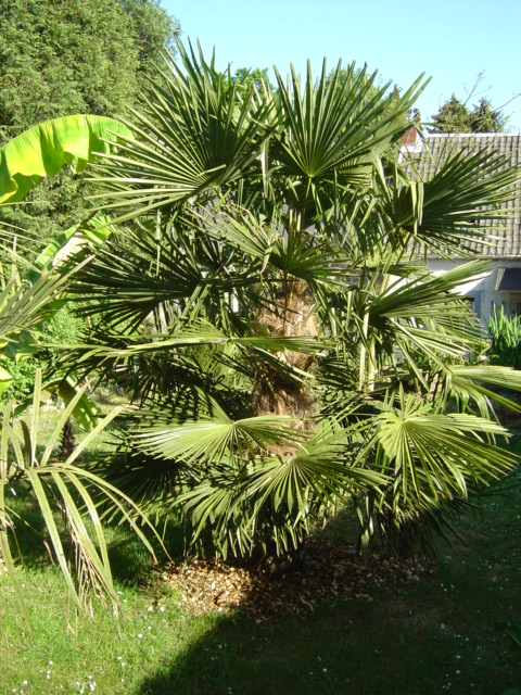Trachycarpus fortunei Belgique