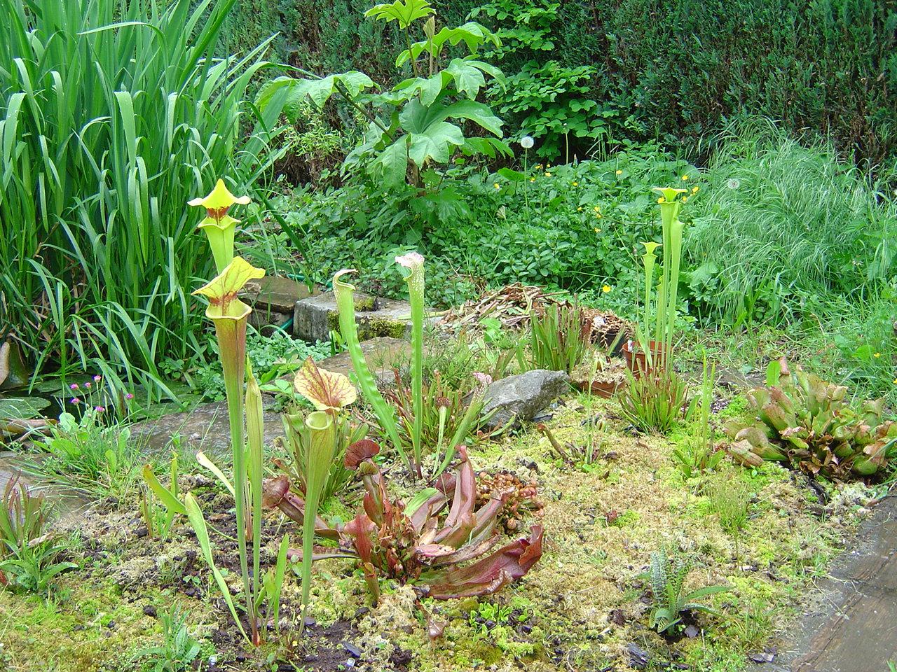 tourbière artificielle, plante carnivore,