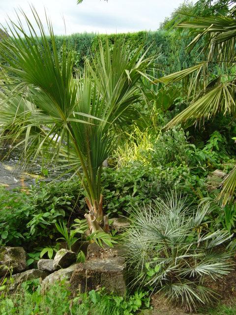 Sabal sp., Chamaerops cerifera et Chamaedorea sp.