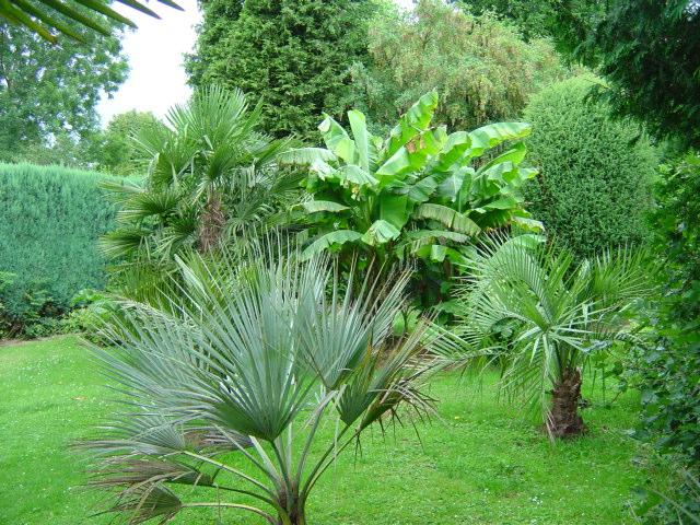 Brahea armata, Musa basjoo, Trachycarpus, Butia sp gigantea