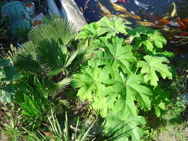 Trachycarpus wagnerianus et Tetrapanax papyfera