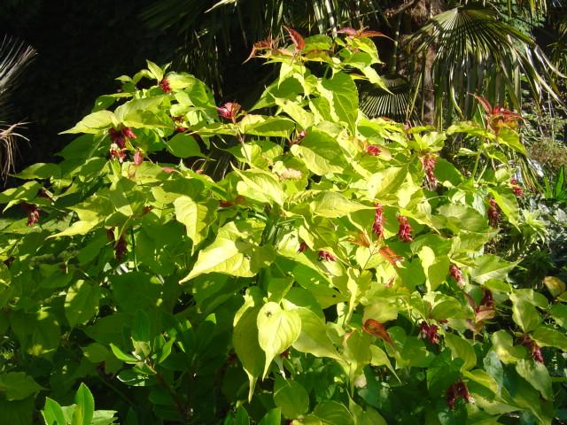 Leycestera formosana