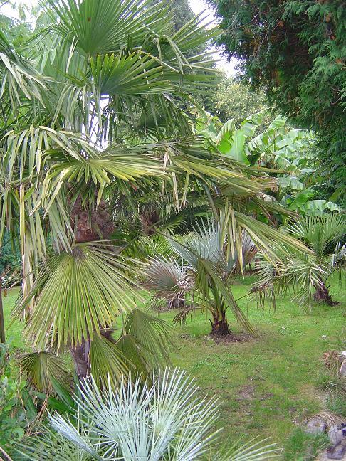 palmiers et bananiers en Belgique