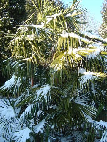 Dégâts gel Trachycarpus
