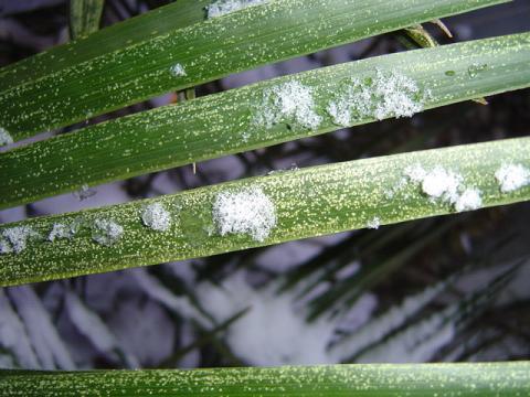 Dégâts gel feuille Jubaea palmier
