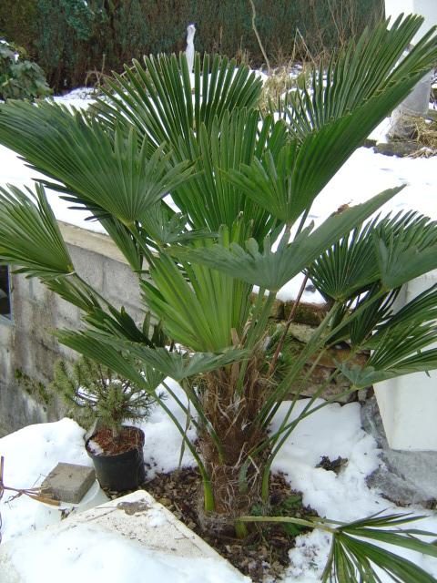 palmier, résistance, gel, exotique, climat froid, Trachycarpus wagnerianus