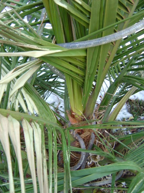 palmier, résistance, gel, exotique, climat froid, Jubaea