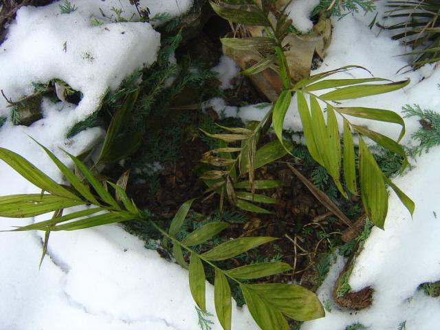 palmier, résistance, gel, exotique, climat froid, Chamaedorea microspadix