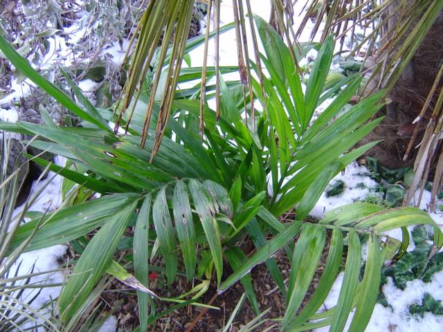 palmier, résistance, gel, exotique, climat froid, Chamaedorea radicalis