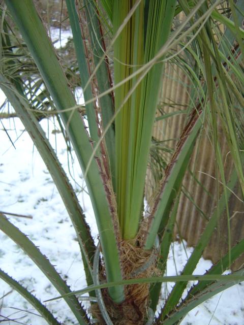 palmier, résistance, gel, exotique, climat froid, Butia