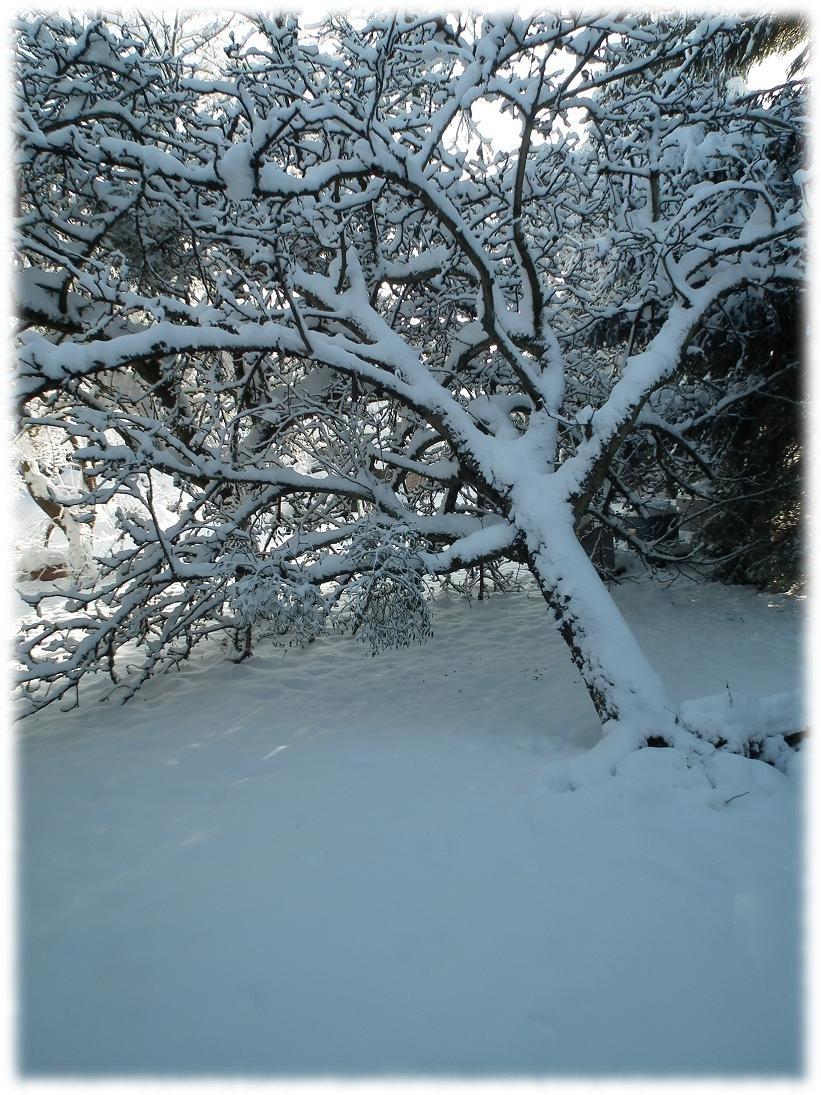 pommier belle-fleur déraciné poids neige