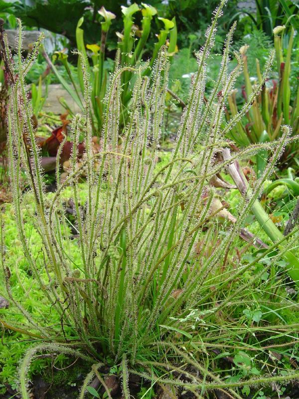 """tourbière artificielle, plante carnivore, Drosera filiformis """"Tracyi"""""""