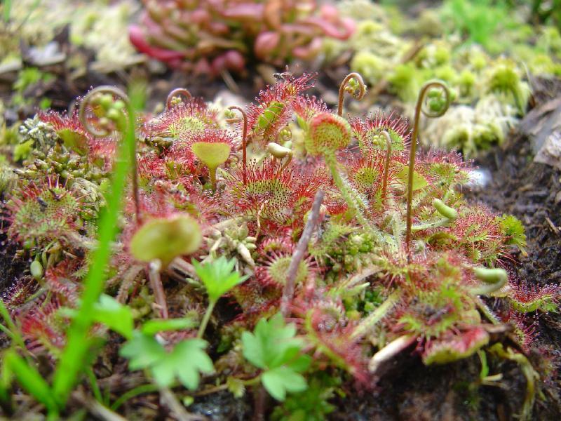tourbière artificielle, plante carnivore, Drosera rotundifolia