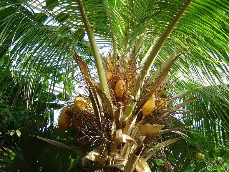 Cocos nucifera Jardin botanique national Meise