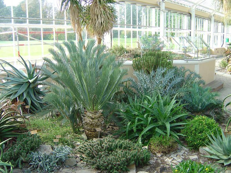 Encephalartos Jardin botanique national Meise