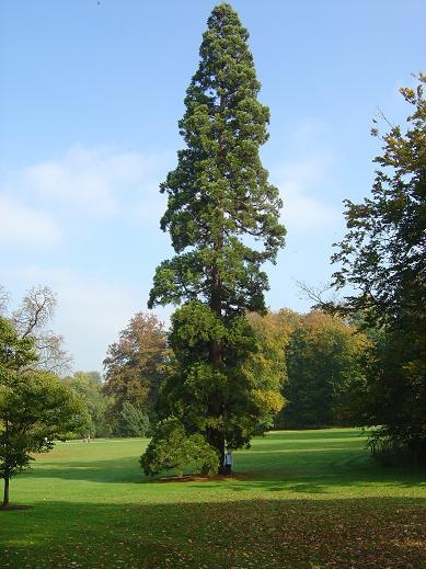 Sequoiadendron giganteum Jardin botanique national Meise