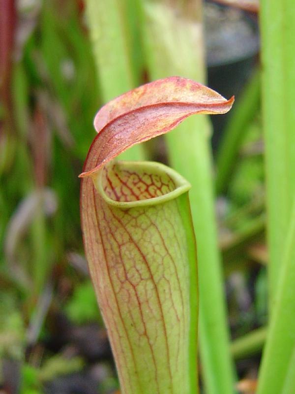 tourbière artificielle, plante carnivore, Sarracenia alata
