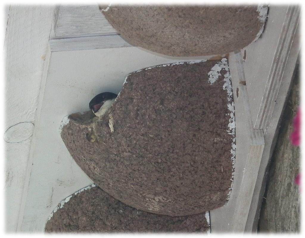 nichoir hirondelles de fenêtre