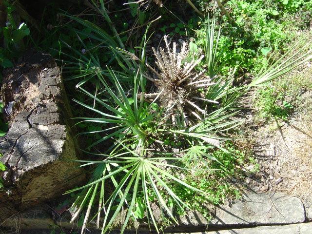palmier, résistance, gel, exotique, climat froid, Chamaerops humilis