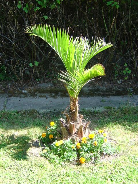 palmier, résistance, gel, exotique, climat froid, Butia sp.gigantea